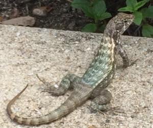 Cayman_Lizard